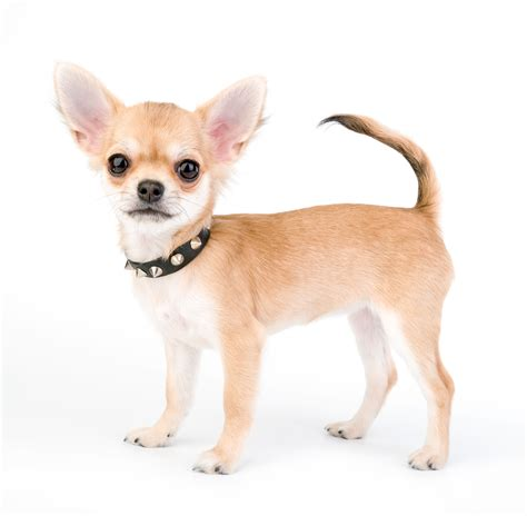 Small Home Plans by Chihuahua Adoption Weekend Free Arizona Pet Vet