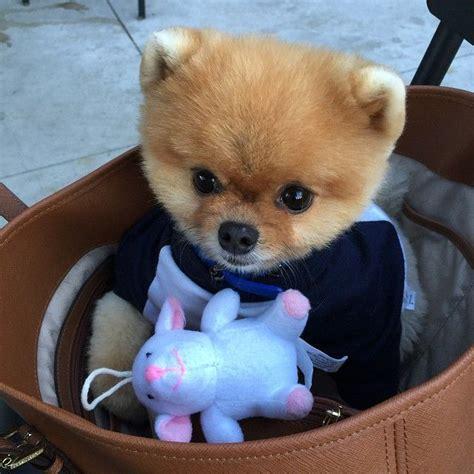 pomeranian jiffpom 135 best images about pomeranian puppy on