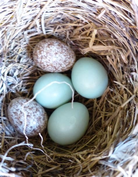 what color are bluebird eggs how to on birds the pleasures of birding
