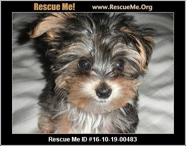 yorkie rescue in nj new jersey yorkie rescue adoptions rescueme org