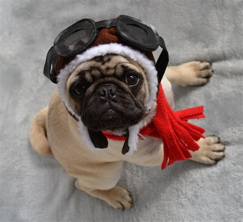pug airplane the world s best photos of lol and pug flickr hive mind