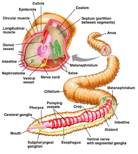 worm dissection search garden initiative biology and anatomy bio tutorial earthworm