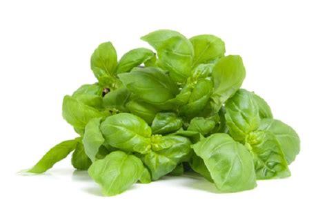 piantare il basilico in vaso seminare il basilico in vaso pollicegreen