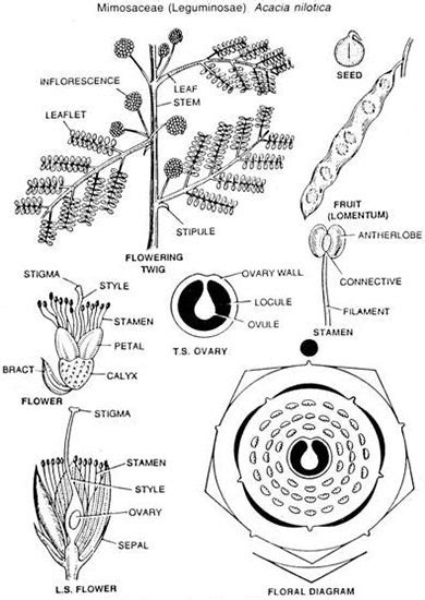 floral diagram of fabaceae family family fabaceae floral diagram 28 images eeb337h