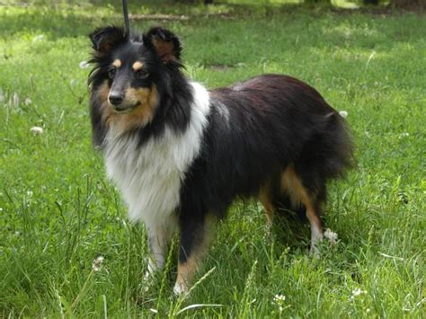 sheep dogs shetland sheepdog