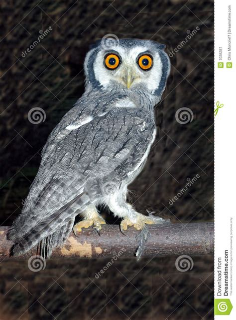 white faced scopes owl 2 royalty free stock photography
