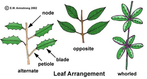 The Pattern Of Leaf Arrangement Is Called | leaf terminology part 1