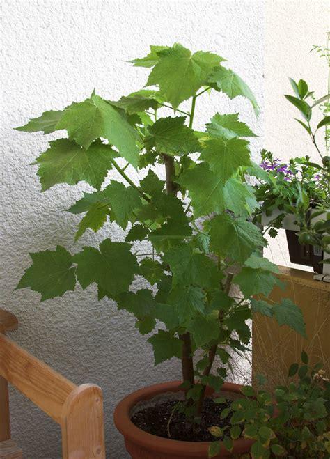 Als Zimmerpflanze by Zimmerpflanzen