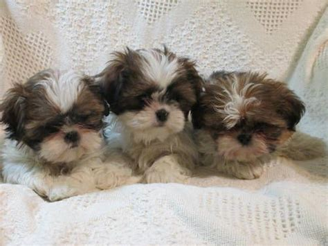 ckc registered shih tzu puppies for sale 121 best images about shih tzu puppies on