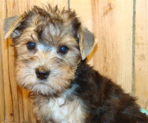 yorkie mixed with schnauzer pin by wendy on maltese and yorkies