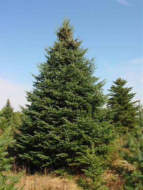 balsam tree balsam fir coniferous forest