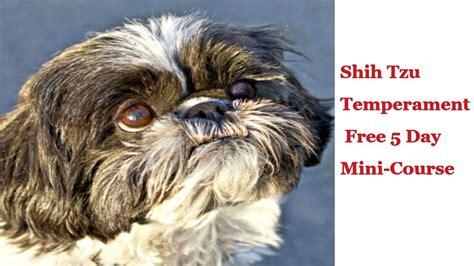 shih tzu dogs personality shih tzu puppies temperament free information on shih tzu puppies temperament