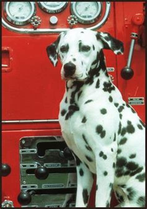 fire house dogs 1000 images about firehouse dogs on pinterest dalmatians dogs and chicago