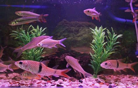 lensa zapa ikan kelah merah sebarau jelawat krai emas
