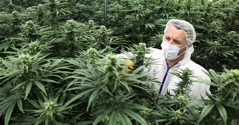 marijuana legalization  canada  companies chasing