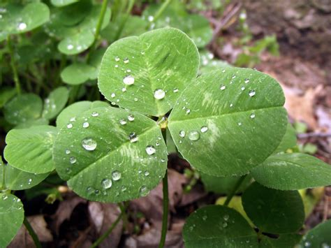 penn state extension philadelphia master gardeners phony shamrocks and fake four leaf clovers