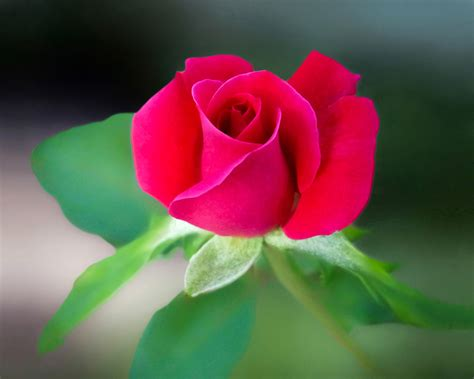 flower images red rose flower 183 free stock photo