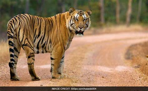 the tiger who would cbi should search for missing beloved tiger jai says