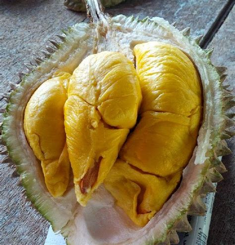 Ciri Bibit Durian Musang King Asli bibit durian musang king budidaya durian musang king