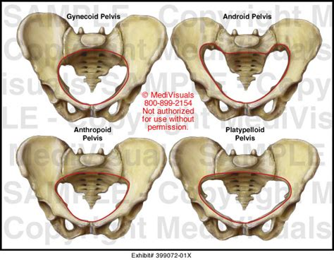 android pelvis medivisuals pelvic types illustration