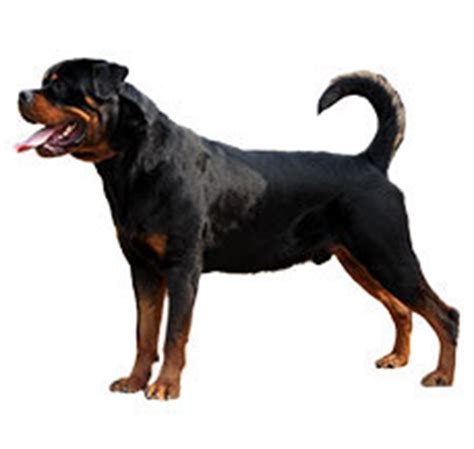rottweiler maintenance cost rottweiler breed information dogspot in