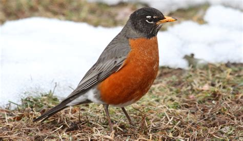 top 28 where do robins live in the summer american