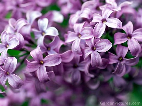 purple lilacs purple images lilac flower hd wallpaper and background