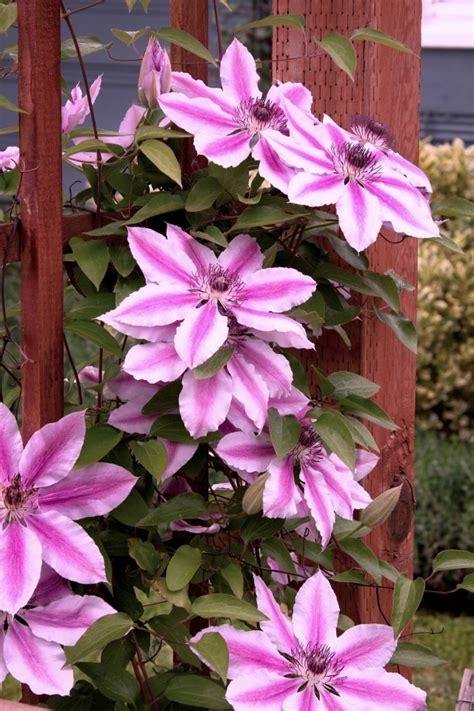 clematis wann pflanzen clematis kletterpflanze tipps zum pflanzen pflegen und