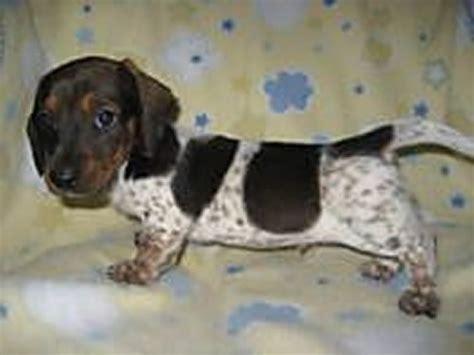piebald dachshund puppies best 25 piebald dachshund ideas on weenie dogs baby dachshund and wiener