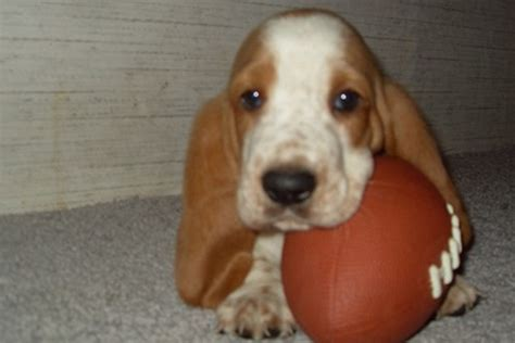 manhattan puppies basset hounds for sale in manhattan manhattan puppies kittens