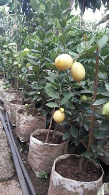 Jual Bibit Anggur Sudah Berbuah jual tabulot sudah berbuah bibit tanaman buah