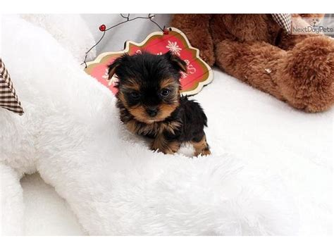 yorkie puppies salt lake city teacup yorkie puppies re homing 13 weeks animals salt lake city utah