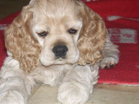 1000+ images about Cocker Spaniels on Pinterest   Cocker ...