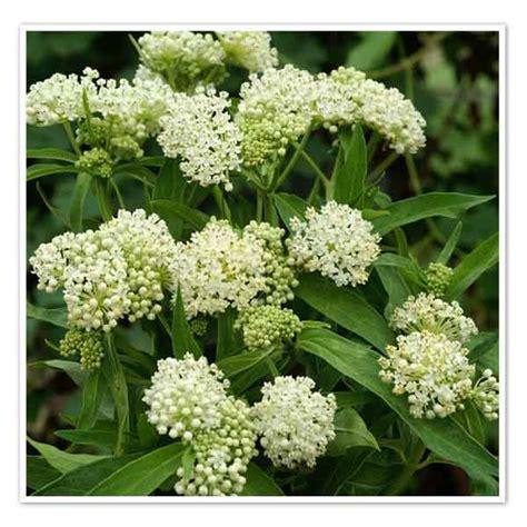 asclepias incarnata ice ballet sw milkweed sugar