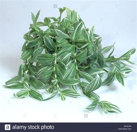 House Plant Wandering Jew Tradescantia Fluminensis Albovittata Pot