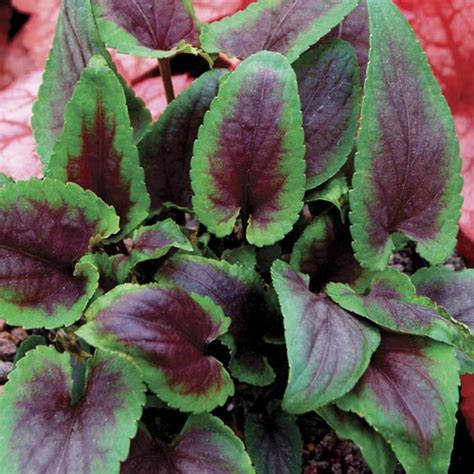 perennial foliage plants www simplyseedsandplants co uk