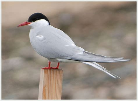 byrd tern arctic tern bird facts with photographs the wildlife
