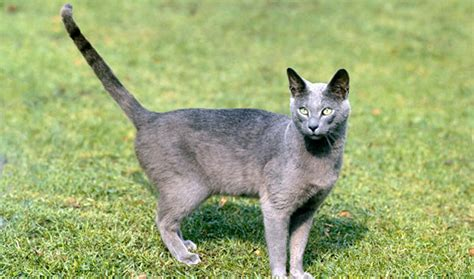 Blee Cat 2 russian blue nebelung cat breed information