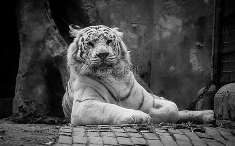 gambar harimau kartun hitam putih kumpulan kartun hd
