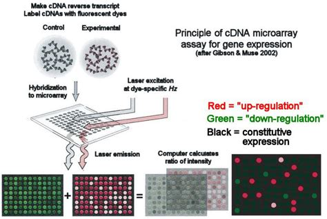 libreria cdna cdna microarray assay of gene expression