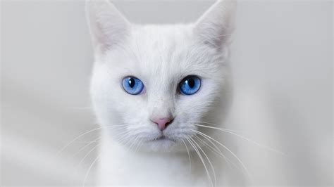 beautiful white cat wallpaper hd pictures