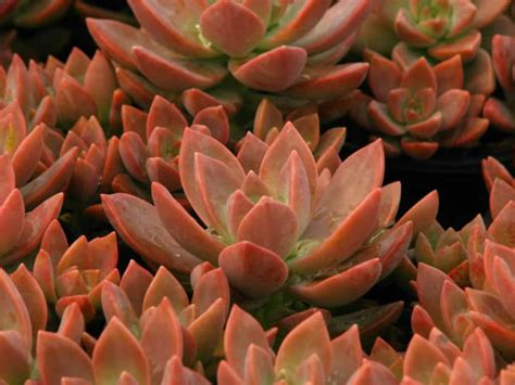 How To Propagate Succulents Sunset - graptosedum california sunset world of succulents