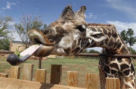 imagenes de jirafas sacando la lengua no le queda mucho tiempo a las jirafas shareamerica