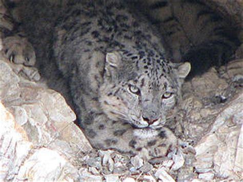 conservation  snow leopards wwf