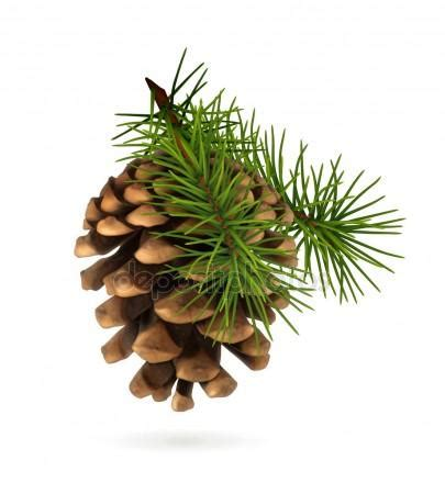 pine cone stock vectors royalty free pine cone