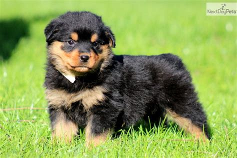 pictures of rottweiler puppies photos of a newborn rottweiler puppy breeds picture