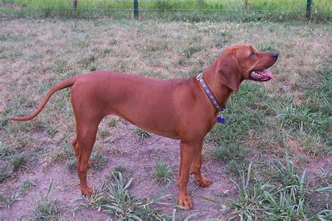 Hw Regbone redbone coonhound
