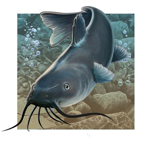 catfish pictures clip art clipart collection