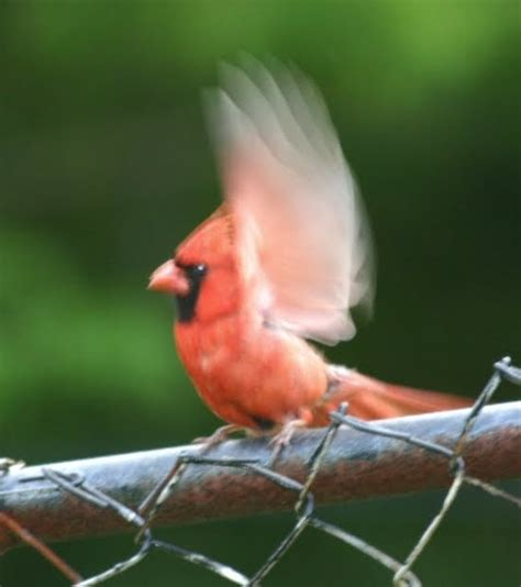 wild birds unlimited i have a mad cardinal attacking my