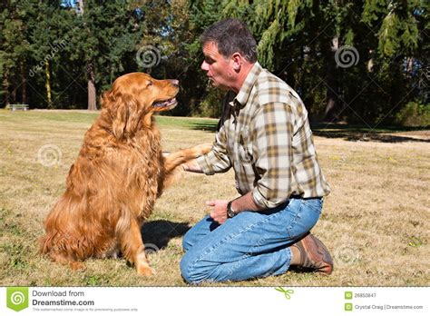 golden retriever obedience obedience golden retriever stock image image of
